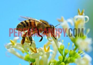 Lebah : Serangga Polinator Penting bagi Keseimbangan Agroekosistem
